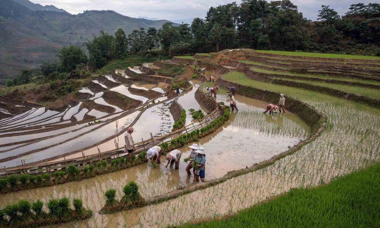 growing rice in vietnam