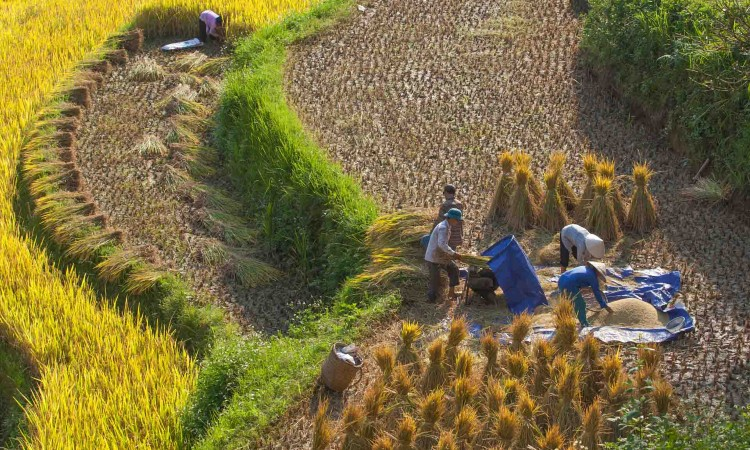 The locals are harvesting rice